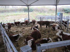 traditional herefords